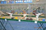 15-17.11.2013r. Wystawa gołębi ras niemieckich oraz ras gościnnych